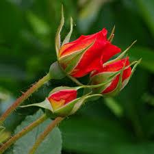 "Heidi Hackney – ""Stop! My roses!"""